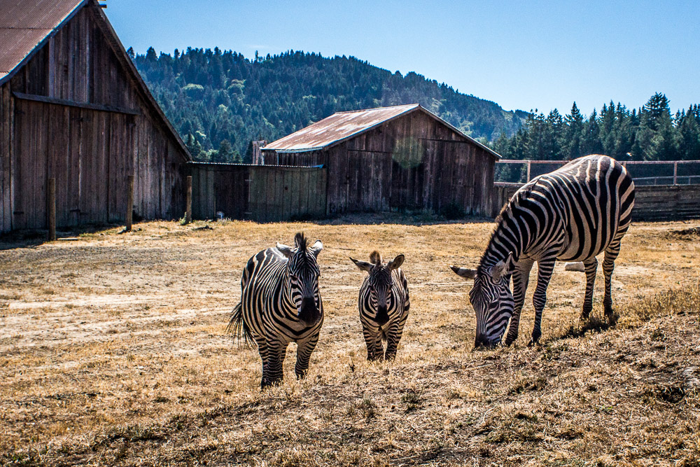 Zebras in Petrolia at the Lost Coast.