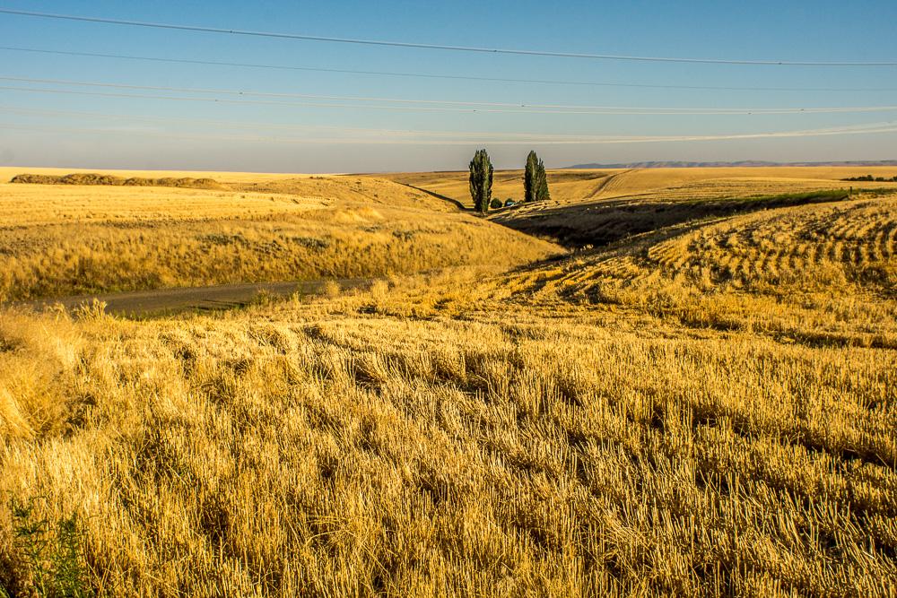 Wheat Fields, Two Trees, Waterville Plateau, Washington
