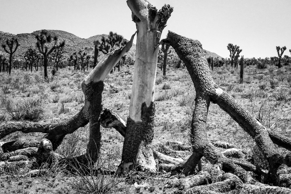 Joshua trees, Joshua Tree National Park