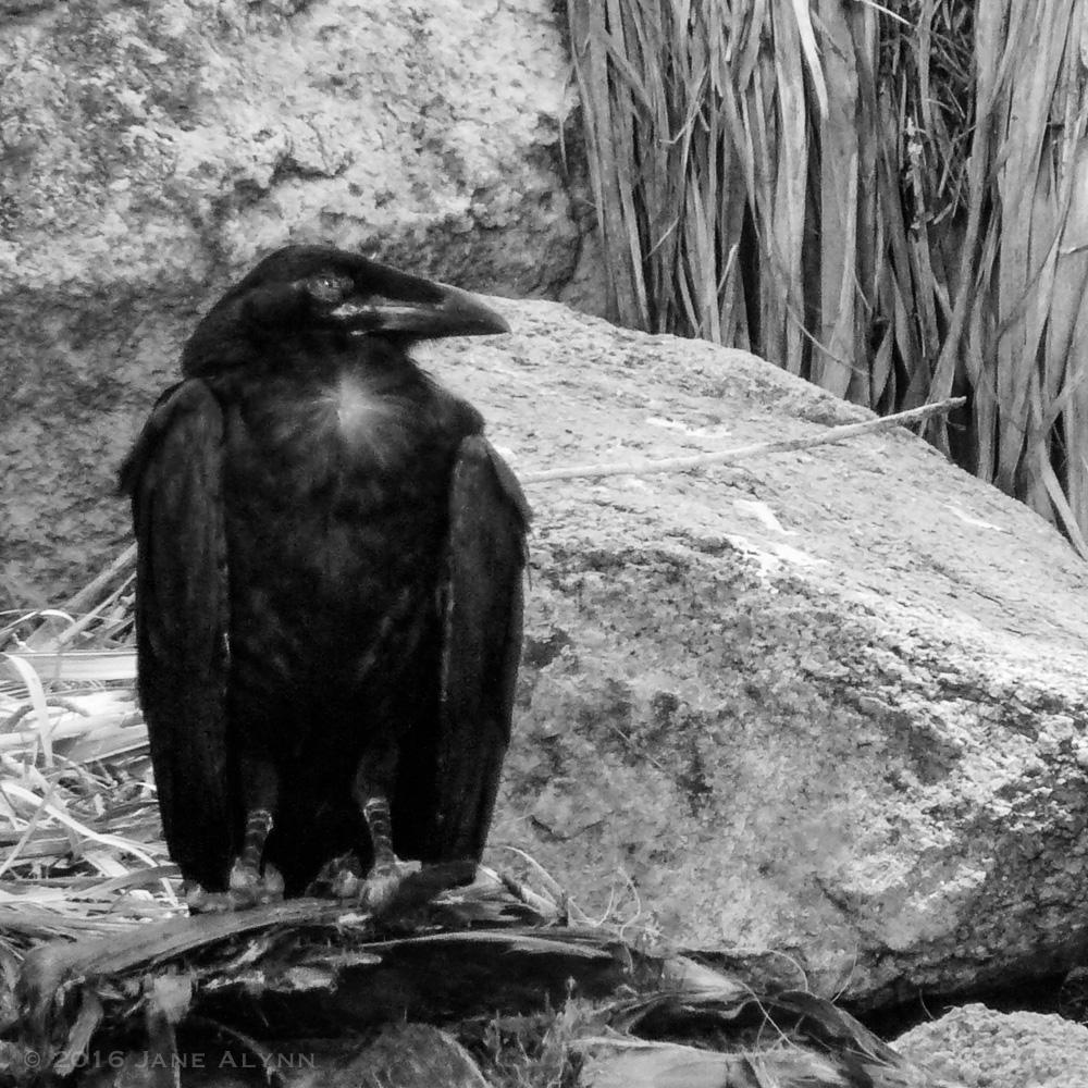 Raven, Joshua Tree National Park