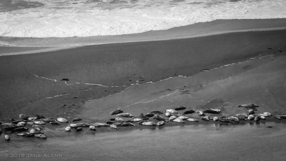 Seals napping, Sonoma Coast
